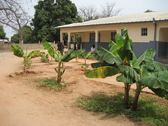 Banana trees growing
