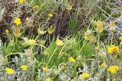 Slender ice plant Photo