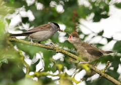 Blackcap Feeding Young Portadown (Explored) (Alistair Prentice.) Tags: county summer bird river photography canal feeding pentax birding young meadows bann sigma 150 co 500 prentice towpath watcher armagh kx migrant portadown rspb newry blackcap explored cusher