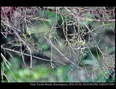 (V.i.c.k.y) Tags: trees india green leaf karnataka twigs kundapura nikond90