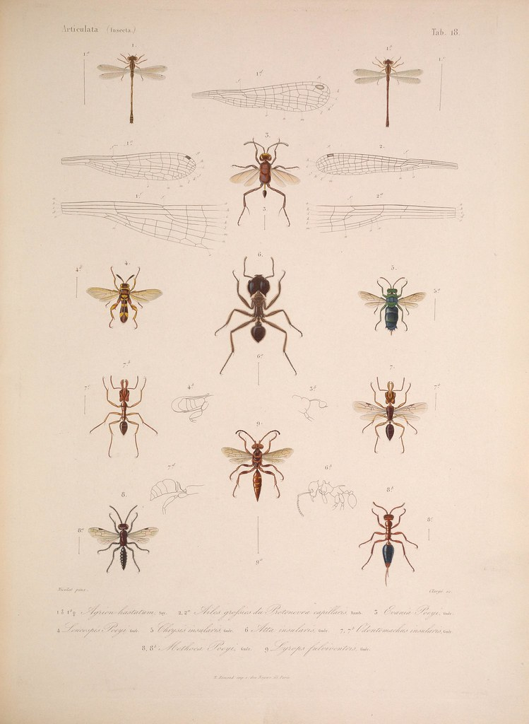 natural history illustration from  Cuba 1838-1857 c