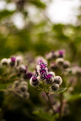 Burdock flower bokeh (Robin Dahling) Tags: flower macro green nature canon photography leaf purple sweden bokeh burdock 18 leafs stocholm insect50mm