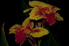Fiori Di Mezzanotte [29/52] (R.D.V.) Tags: red italy flower macro nature yellow nikon italia nightshot natura giallo 60mm fiori nikkor rosso puglia notte taranto 52weeksproject
