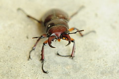 I'm gonna get you!! (Michelle Jellison) Tags: brown bug insect stag beetle pinch mandible pinchers nikond300s
