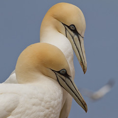 Northern Gannets (4 shots) (Phiddy1) Tags: canada quebec gaspe perce bonaventureisland northerngannet supershot specanimal avianexcellence