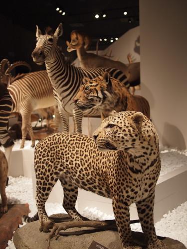 大哺乳類展 ヒョウの剥製
