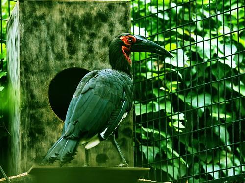 上野動物園 ミナミジサイチョウ