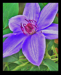 Clematis (monique.m.kreutzer) Tags: flower floral garden purple blossom clematis vine petal bloom colorphotoaward
