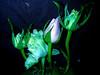 """J'accepte deux anniversaires par An,pour avoir autant de messages et de jolis bouquets. Seulement pour vous dire """"MERCI""""THANKS""""GRACIAS""""GRAZIE""""DANKE""""pour cette journée d'amitié** (Baratineuse1947**Lucie **) Tags: nature nikon soe naturesfinest topshots bej fantasticflower fineartphotos masterphotos mywinners abigfave platinumphoto anawesomeshot impressedbeauty diamondclassphotographer flickrdiamond citrit theunforgettablepictures overtheexcellence theperfectphotographer goldstaraward excellentsflowers thesuperbmasterpiece natureselegantshots mimamorflowers fleursetpaysages"""