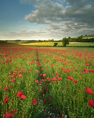 Poppies (peterspencer49) Tags: southwest landscape dorset poppy poppies poppyfields westcountry 5dmkll peterspencer