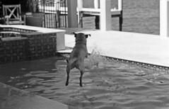 Dog Jumping #2 (film) (PositiveAboutNegatives) Tags: leica blackandwhite bw dog slr film pool jumping lab labrador yellowlab florida kodak sl vintagecamera manual 90mm coolscan leicaflex plusx elmarit leitz leicar versionone leicaflexsl 90mmelmarit 11239 nikon9000scanner aristapremium100 90mmelmaritr