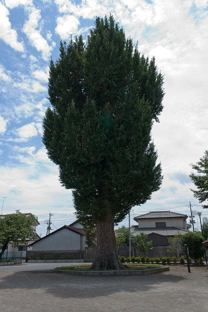 #71 The Giant Ginkgo of Mibu Temple