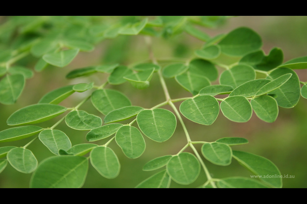 malunggay leaves essay The study needs dried malunggay (moringa oleifera) leaves, yeast, sugar and water as its main inputs or ingredients in ethanol production using conversion, liquefaction, fermentation, distillation, filtration and.