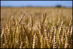 Idaho Wheat