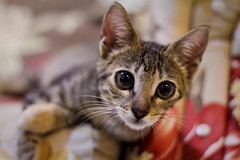 Nina, a curiosa (Capiroba) Tags: cat kitten gato gata nina filhote gatinha cra
