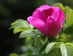 25. Juli 2011: Hundsrose (Gertraud-Magdalena) Tags: pink summer rose garden estate sommer magenta rosa juli garten giardino hundsrose