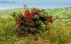 Fuchsia (Barbara Walsh Photography) Tags: ireland view fuchsia kerry sleepinggiant blasketislands