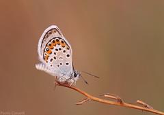 Licenide (Corsaro078) Tags: macro closeup butterfly insect farfalla insetto d90 sigma150macro buzzandbugz licenide