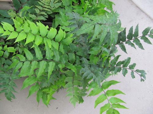 england fern westsussex ferns angmering cyrtomium cyrtomiumfalcatum japanesehollyfern july2011 manornursery manornurseries