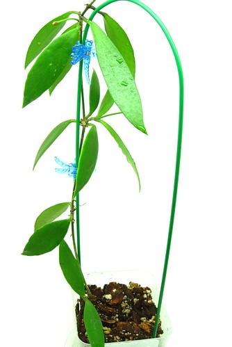 Hoya litoralis