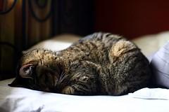 [フリー画像] 動物, 哺乳類, 猫・ネコ, 寝顔・寝ている, 201107310500