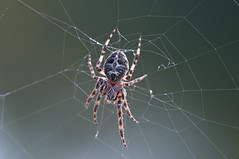 Spider on web (violetflm) Tags: insect spider native july il cbg d300s 45orless d3s5777