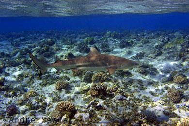Tubarão em recife de coral das Ilhas Marshall, região micronésia