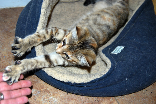 Coriander stretches full-length in a cat bed to bat at my fingers.