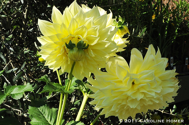 Dahlias the size of dinner plates