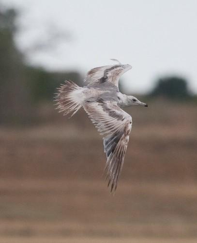 Pretty gull