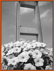 Bridge (vera-K) Tags: bridge flowers flores fleurs puente concrete blumen ponte pont brug fiori brcke petunias bloemen beton concreto hormign tisselt