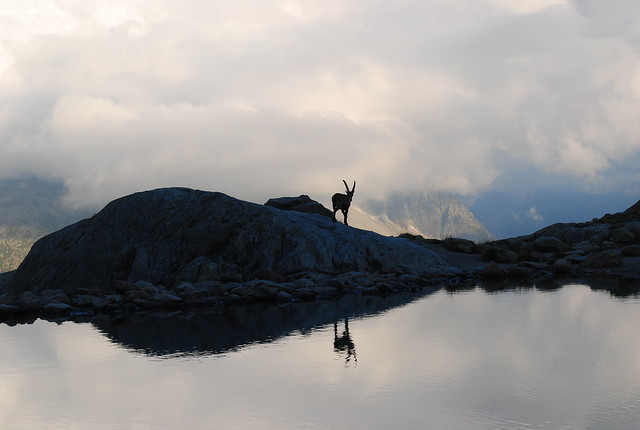 Cabra montesa en el Lago Blanco