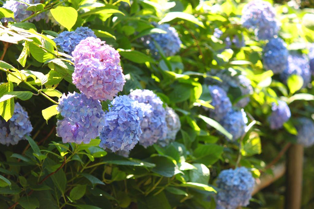 Kita Kamakura Hydrangea spot (14)