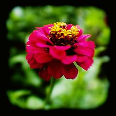 Zinnia (Friendly Joe) Tags: zinnia ttv throughtheviewfinder anscoflexii natureycrap