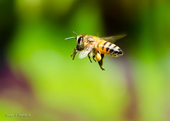 Maravilla voladora / Flying Wonder (sjpadron) Tags: macro nature bug insect nikon bee honey miel abeja vuelo insecto d7000