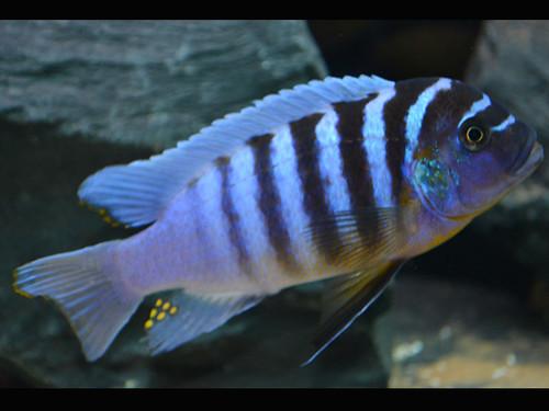 Metriaclima zebra 'Higga Reef'