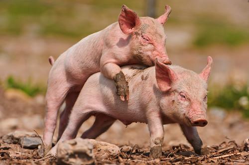 フリー写真素材, 動物, 哺乳類, 豚・ブタ,