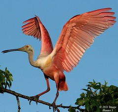 Roseate Spoonbill Display (Image Hunter 1) Tags: pink blue sky tree nature leaves birds wings louisiana branch display feathers bayou breeding swamp greenery marsh wingspan spoonbill plumage roseatespoonbill wingspread t2i birdslouisiana canont2i