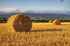 Cosechando (Josepargil) Tags: campo cosecha paja rulo trigo rollo amarillos larioja josepargil