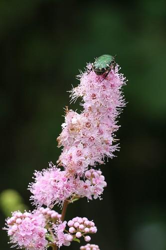 ホザキシモツケ / Pretty flower