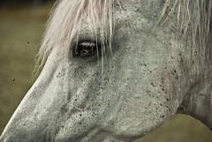 Caballo (Clio A Couso) Tags: horse white eye caballo flies