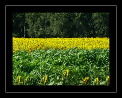 Wind.... (Francesco Caracciolo) Tags: wind sunflower francesco vento girasoli caracciolo francescocaracciolo