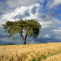 pin parasol - stone pine (pierre hanquin) Tags: color tree landscape geotagged nikon belgium belgique pierre paysage arbre hron wallonie d7000 magicunicornverybest magicunicornmasterpiece hanquin