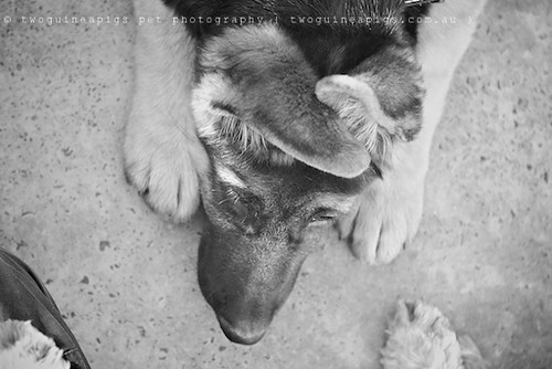 Romeo, German Shepherd, twoguineapigs pet photography at Dogue's Winter Sale 2011 in Manly