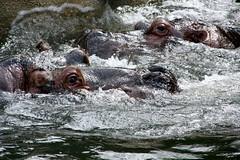 liquid action 2 (marfis75) Tags: horse water pool river zoo wasser underwater action head creative commons fluid cc creativecommons bewegung hippo liquid tier riverhorse aktion kopf zootier nass nilpferd flusspferd feucht ccbysa hipoopotamus marfis75 marfis75onflickr marfiss75