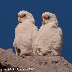Little Corellas (SillyOldBugger (in and out of internet range)) Tags: wild bird australian australia aves outback southaustralia avian farina corella littlecorella cacatuasanguinea wildbird wildbirdaustralia