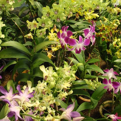 KL orchids 2