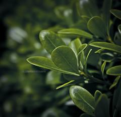 (luc@s) Tags: detail tree verde green nature canon dof estate bokeh natura foglia luce fragment pianta dettaglio pitosforo