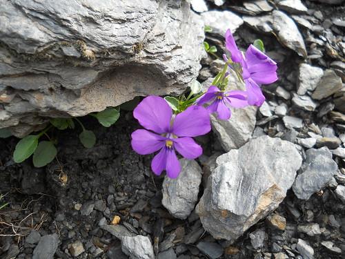Alpine Pansy (Viola alpina)