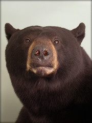 "Black Bear Taxidermy 2 • <a style=""font-size:0.8em;"" href=""http://www.flickr.com/photos/27376150@N03/5930347241/"" target=""_blank"">View on Flickr</a>"
